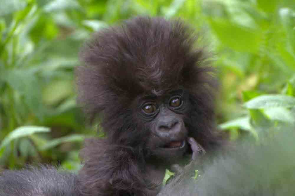 Baby gorilla 4