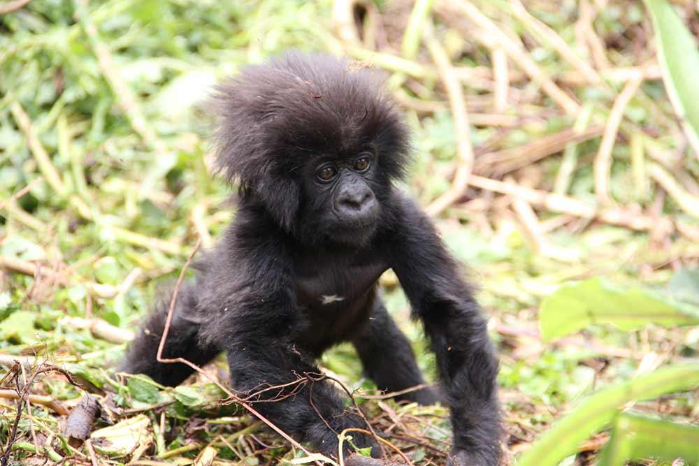 Kwita Izina: Rwanda's annual gorilla-naming ceremony