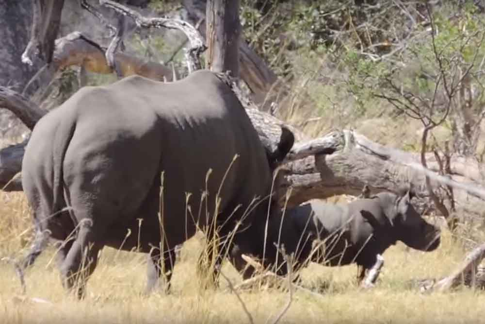 Rhinos Without Borders: 'We made a new rhino'