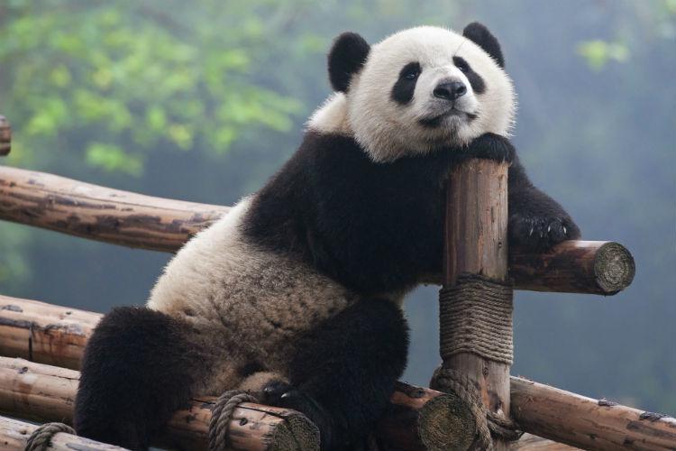 Panda ThinkstockPhotos-468446643