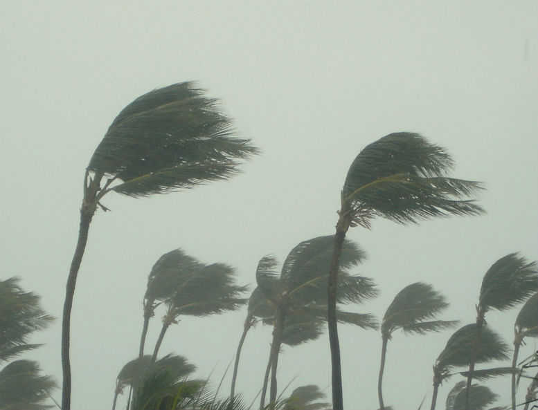 Palm trees suffer hurricane winds