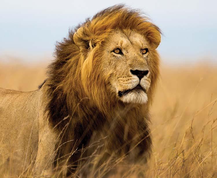 SunluxBroch_Lion2.jpg