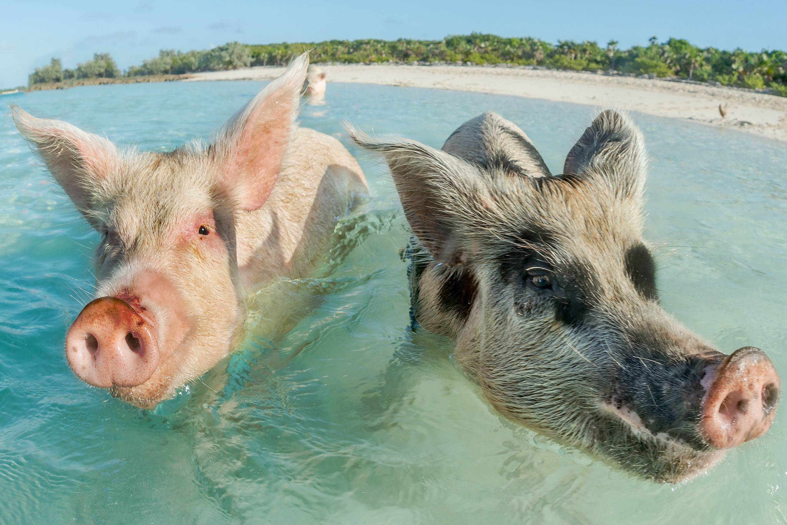 Bahamas' swimming pigs die after allegedly being 'fed rum' by tourists