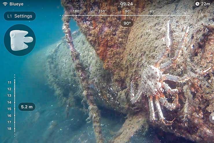 Blue King Crab