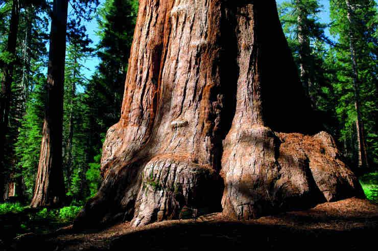 Redwood Trees Mariposa Grove Yosemite National Park 2 - half.jpg