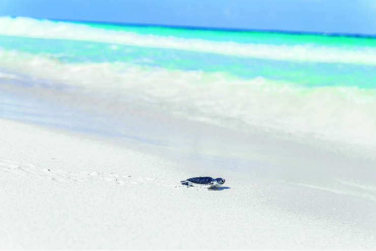 Turtle moving towards the sea