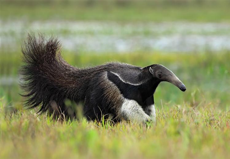 Guyana Giant Anteater.jpg