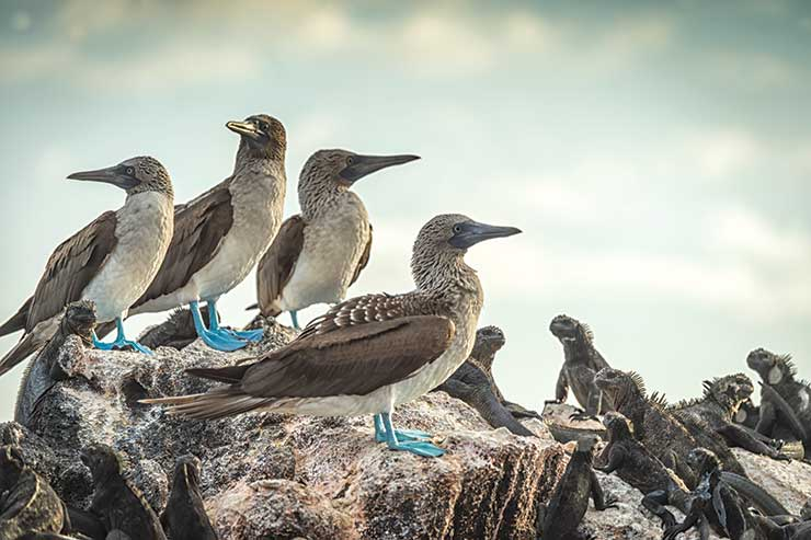 Blue-footed boobies with iguanas
