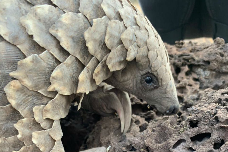 South African reserve reintroduces endangered pangolins