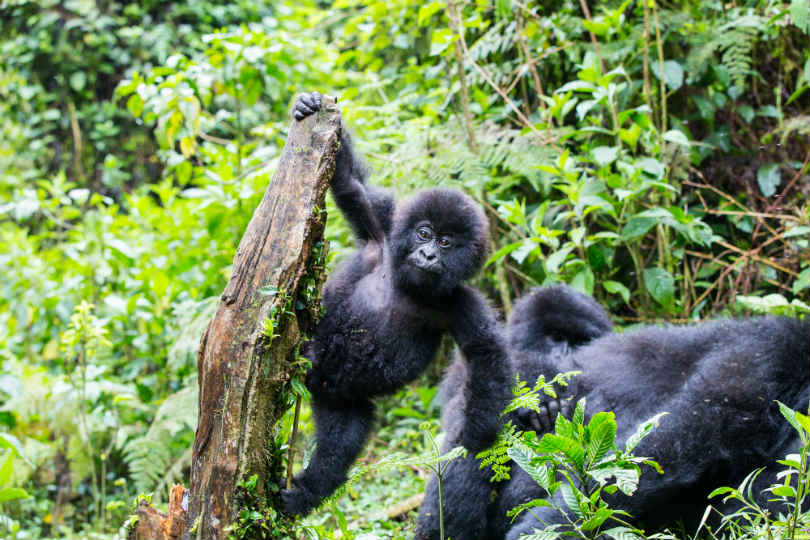 Experiencing gorillas in Rwanda's Volcanoes national park