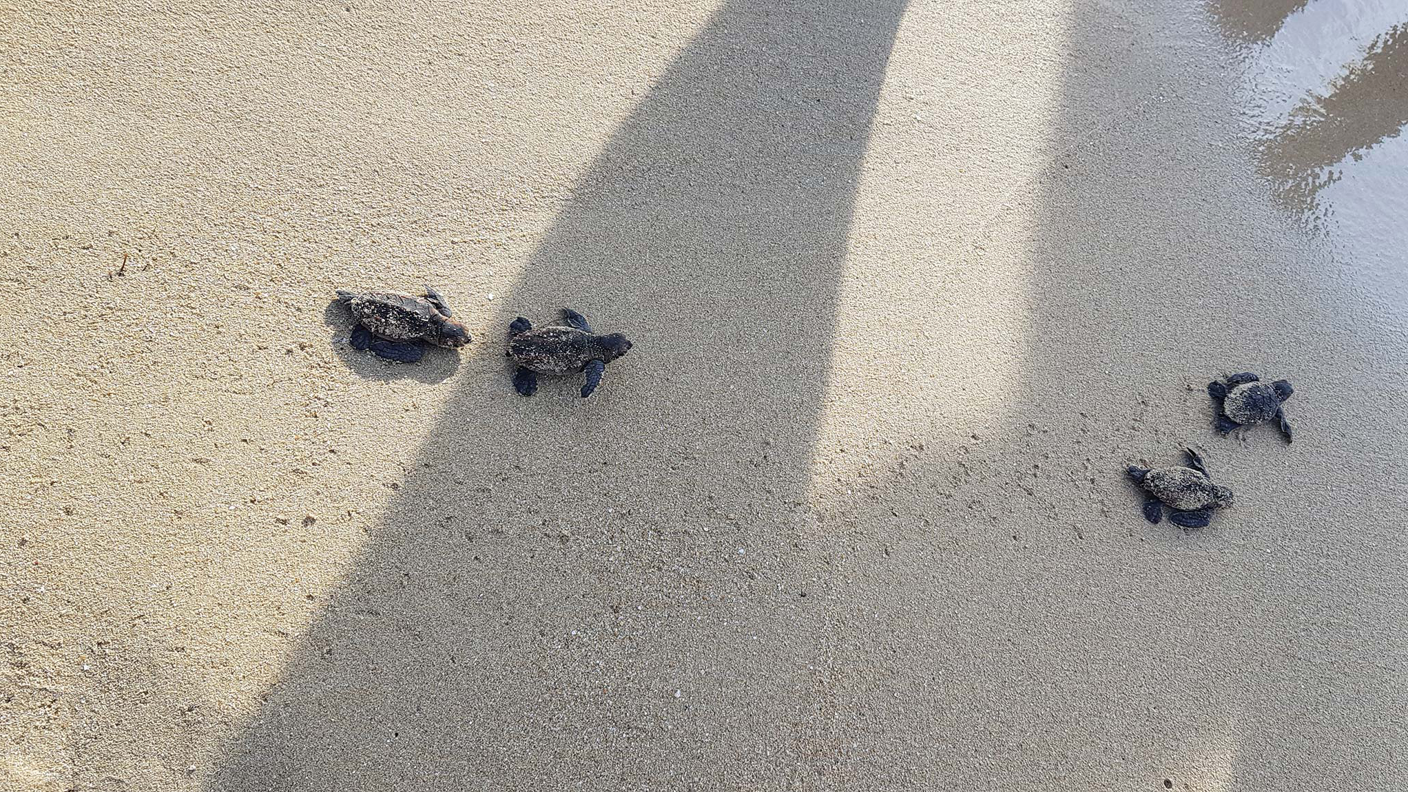 Newly hatched hawksbill turtles make their way to the sea