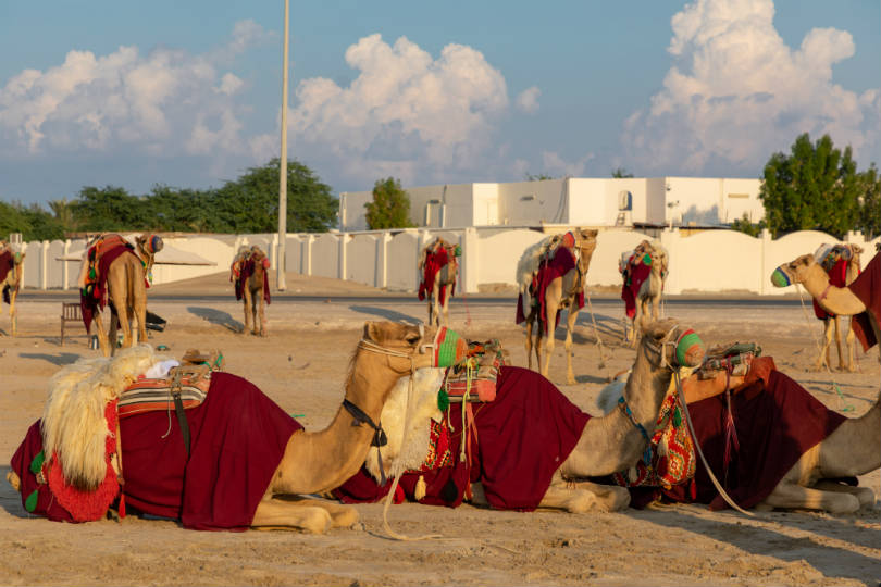 Camels in the desert south of Doha. Picture: Peter Ellegard