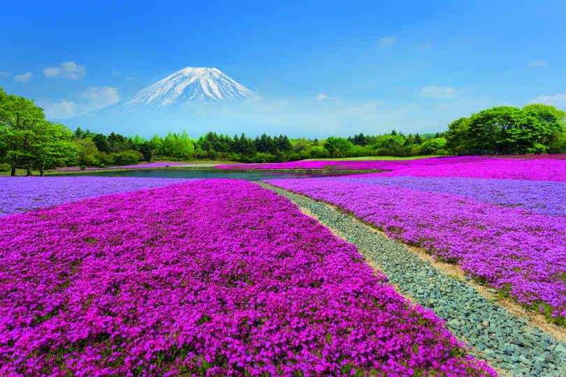 The Shibazakura Festival is set against the backdrop of Mount Fuji