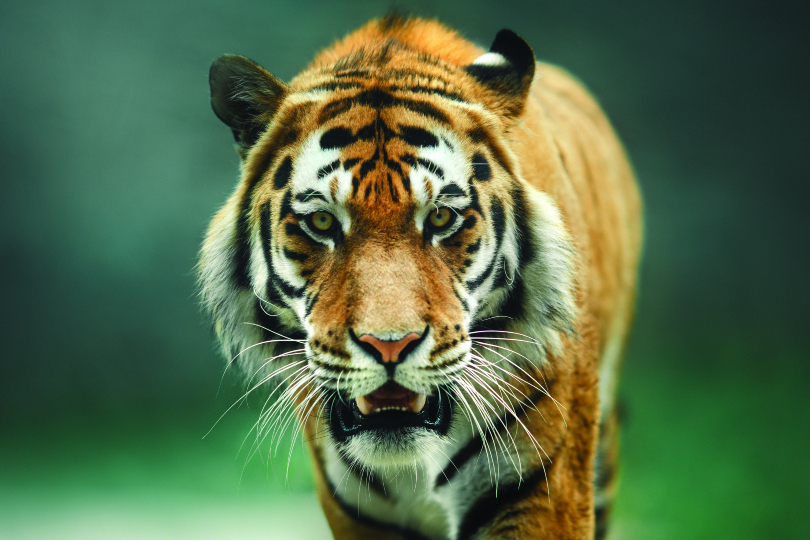 India is home to around 80% of the world's tigers