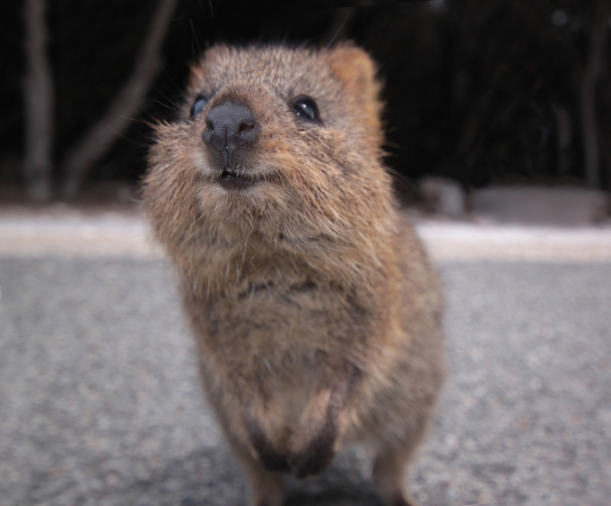 It's official: quokkas calm you down