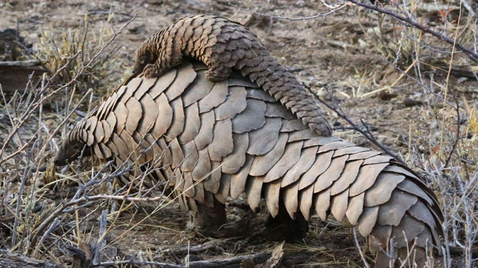 AndBeyond celebrates birth of first wild pangolin for decades