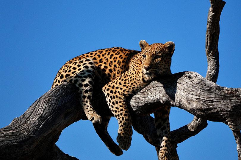Leopard in the Okavango Delta (credit: Colin Watts, Unsplash)